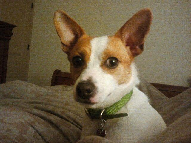 Ő Toby, egy corgi-terrier keverék