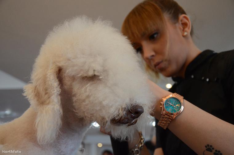 Bátran kijelenthetjük, hogy a spanyolországi kutyafodrász bajnokság egy optikailag igen hálás téma