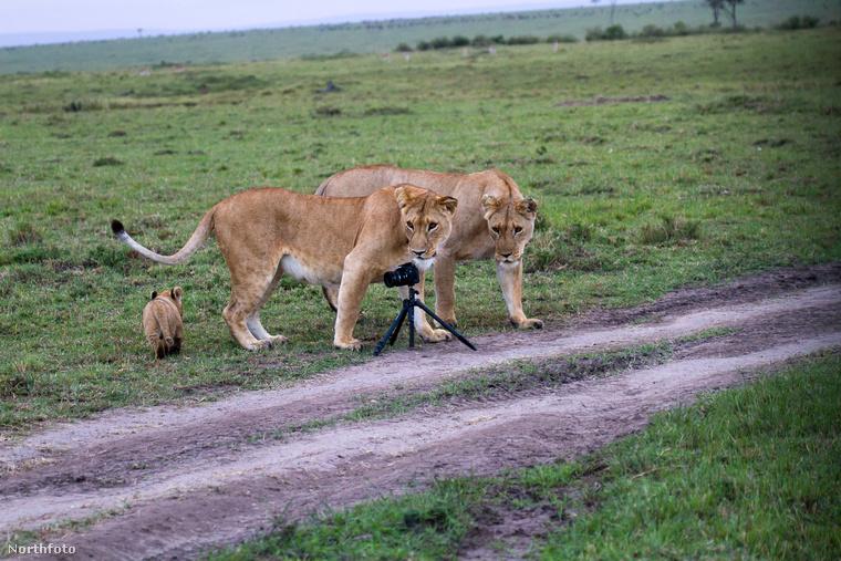 randi oroszlánok