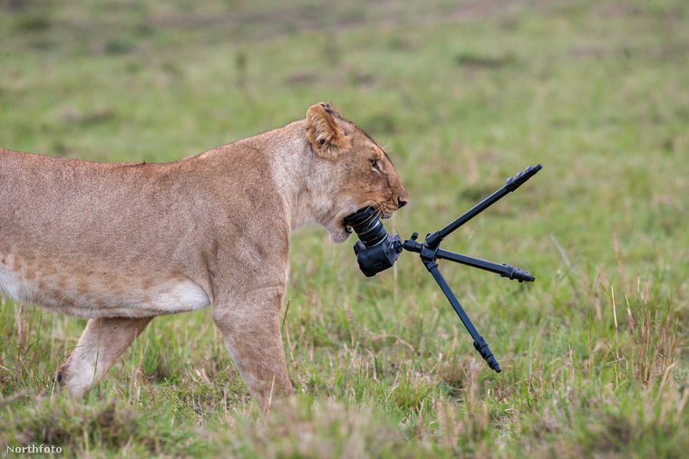 A vadon élő nőstény oroszlánok súlya 120–185 kg között mozog.Ez a kapcsolat pedig egyre jobban elmélyült...