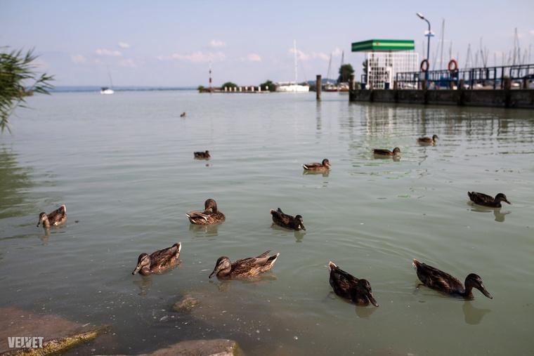 Rengeteg az úszkáló kacsa és hattyú a kikötő táján, akiknek, ha kedve támad, könnyedén kedveskedhet egy kis eleséggel a kihelyezett automatákból.