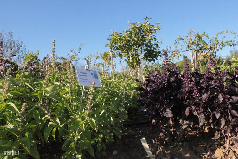 Amiből nem csak egy fajta van itt a Gyógynövény-völgyben: ott a citrom- és a fahéj illatú, valamint a fehérvirágú bazsalikom.