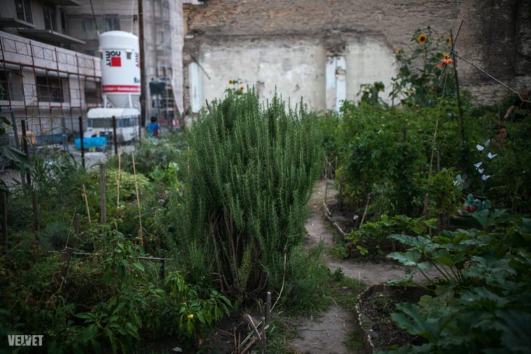 Annak is jár a házilag termesztett bazsalikom és paradicsom, aki nem kertes házban él