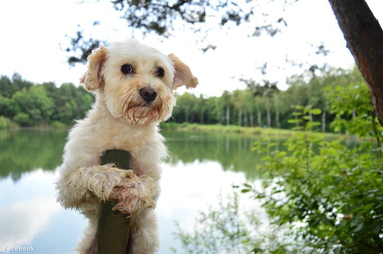 Bogyó egy hat éves Havanese kutya, aki a határhoz közel, Vas megyében él