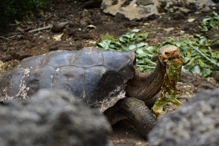 A 82 kiló súlyú, 90 centi hosszúságú teknős még ma is aktív szexuális életet él