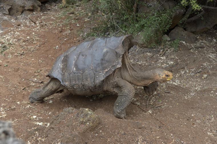 Nehéz elhinni, de Diego több, mint 1000 teknős édesapja