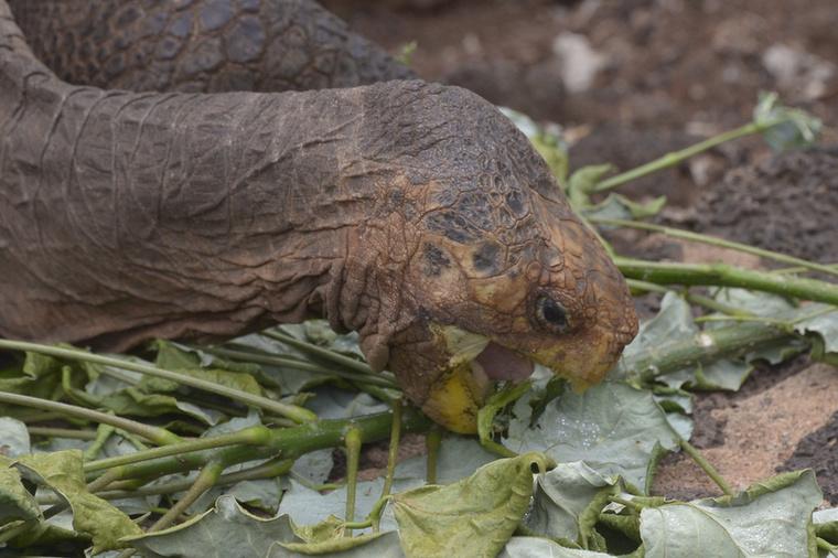 Aztán 1977-ben visszaküldték a teknőst a Galápagos-szigetekre, mert az őt is magában foglaló alfaj a kipusztulás szélére sodródott