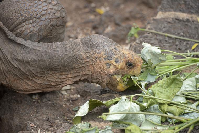 Diego a Chelonoidis hoodensis alfajhoz tartozik, ez a teknősfaj csakis Espanolán él szabadon
