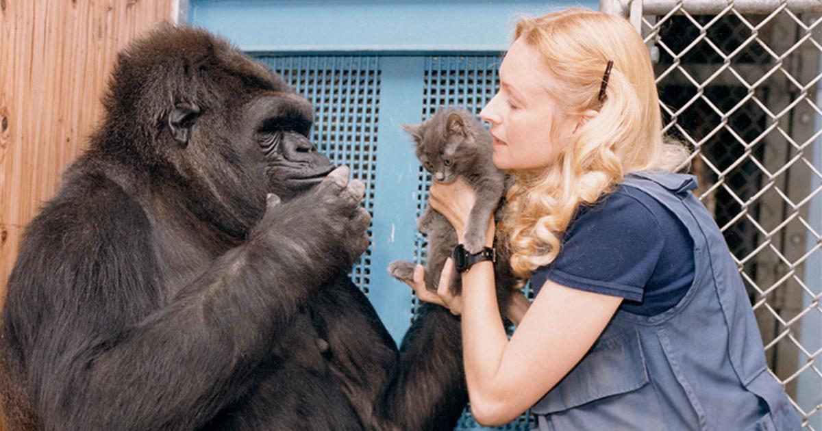 Meghalt Koko, a jelbeszéddel társalgó gorilla