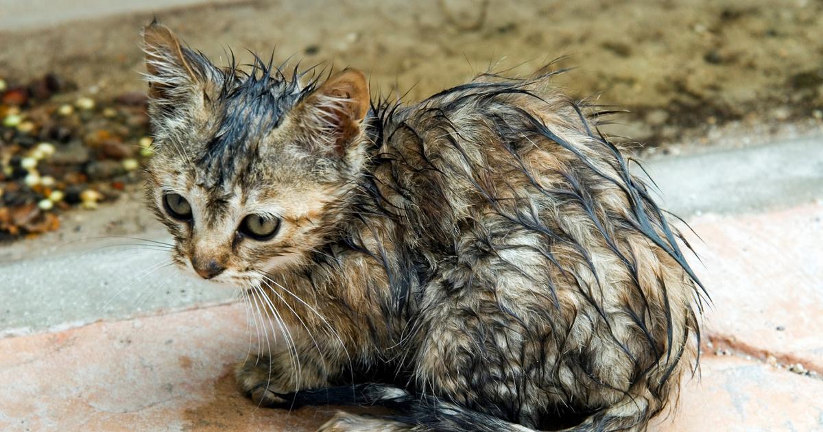 fogyás macska ibda