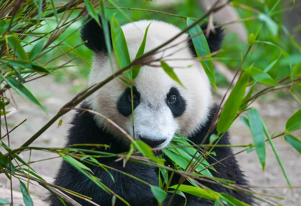bambusz hajtások fogyás)