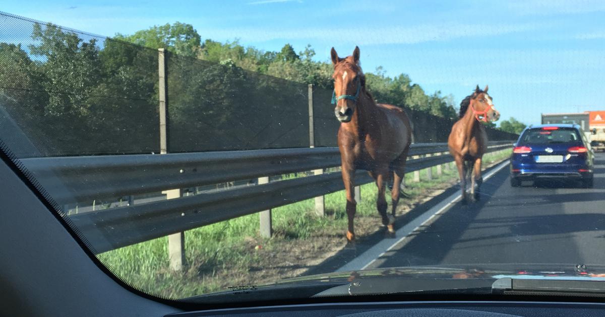 Elszabadult lovak miatt zárták le az M7-est
