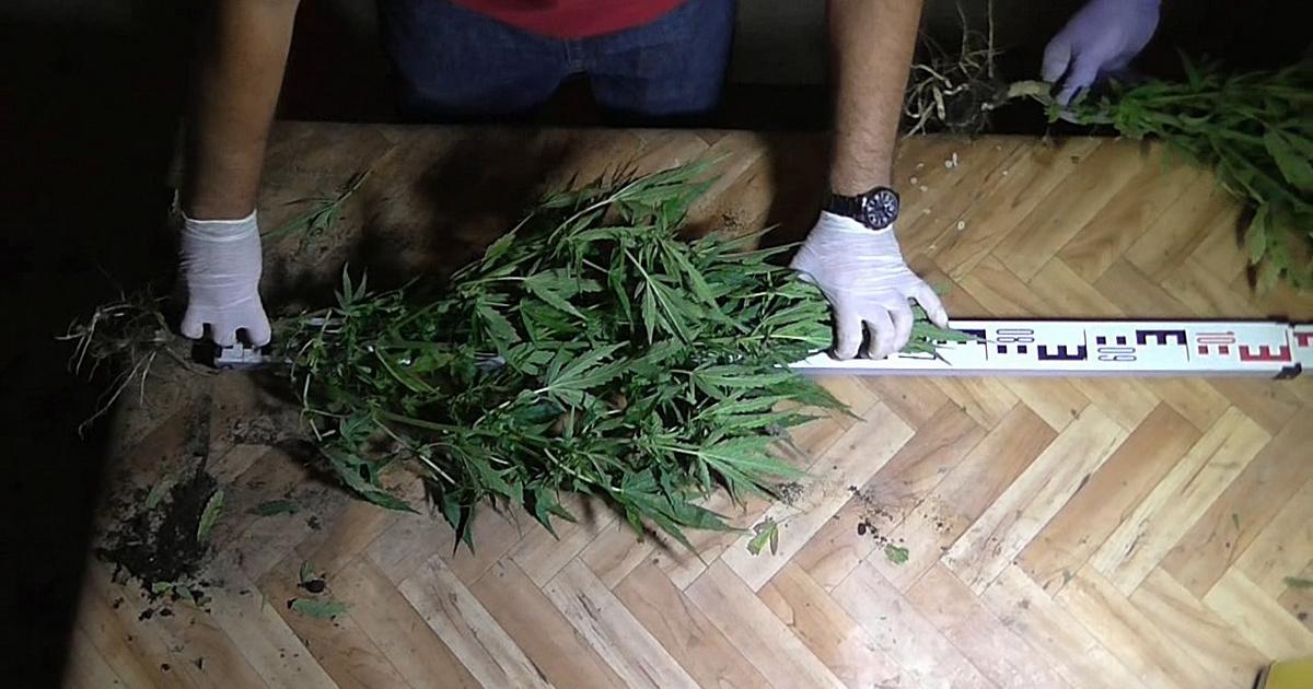 Összetartó családok foglalkoztak kábítószer-termesztéssel, értékesítéssel, de jött a rendőrség
