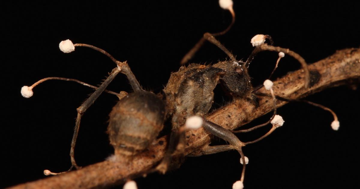 Hangyák parazita, Hangyákon élő gombák