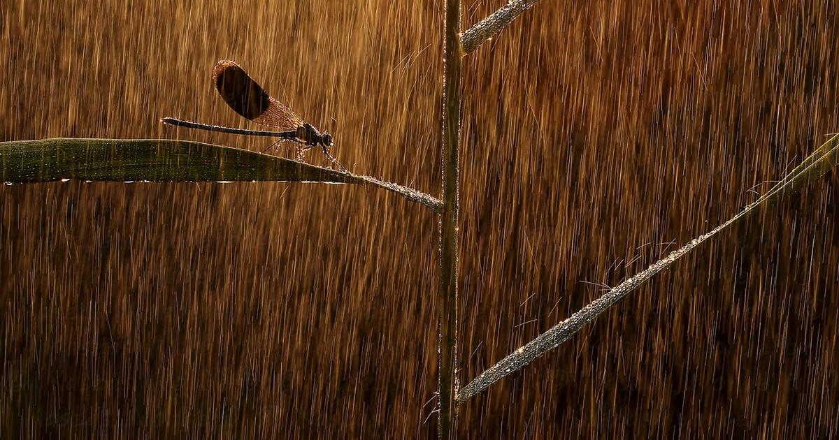 Esőben zuhanyzó szitakötővel lett Kaszás Norbert az év egyik természetfotósa