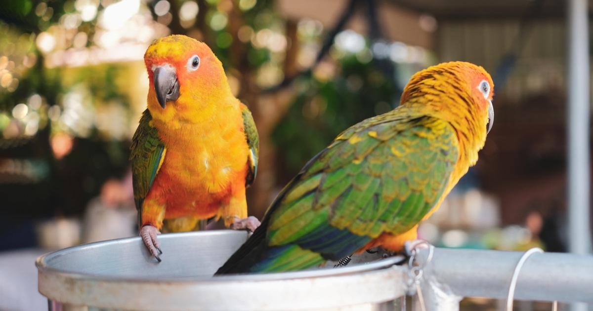 Hogyan tanítsd meg beszélni a papagájt? Igazán tehetséges és okos kismadár