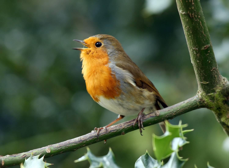 ünnepelje a madarak betegségét