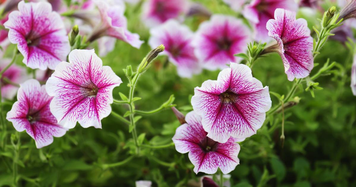 Most kell elültetni az egynyári virágokat: mivel szépítheted a kerted?