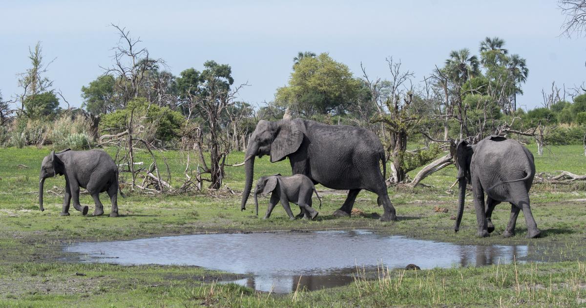 Ázsiai elefánt