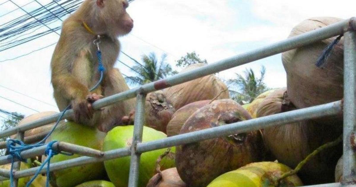 Boris Johnson menyasszonya felszólalt a majmok dolgoztatása ellen