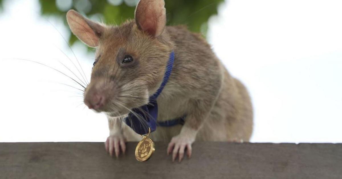 Hős patkány kapott kitüntetést - Rengeteg aknát és bombát szagolt ki