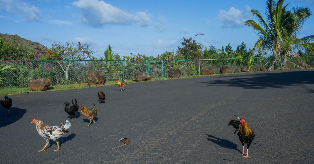 Benzinkutakon és parkolókban randalíroznak a vadcsirkék a gyönyörű szigeten: a hawaii Kauai a szárnyasok paradicsoma
