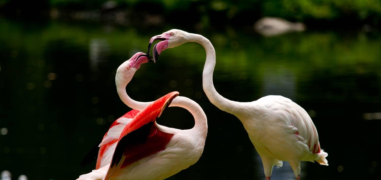 Családmodellek, szülői szerepek a madárvilágban