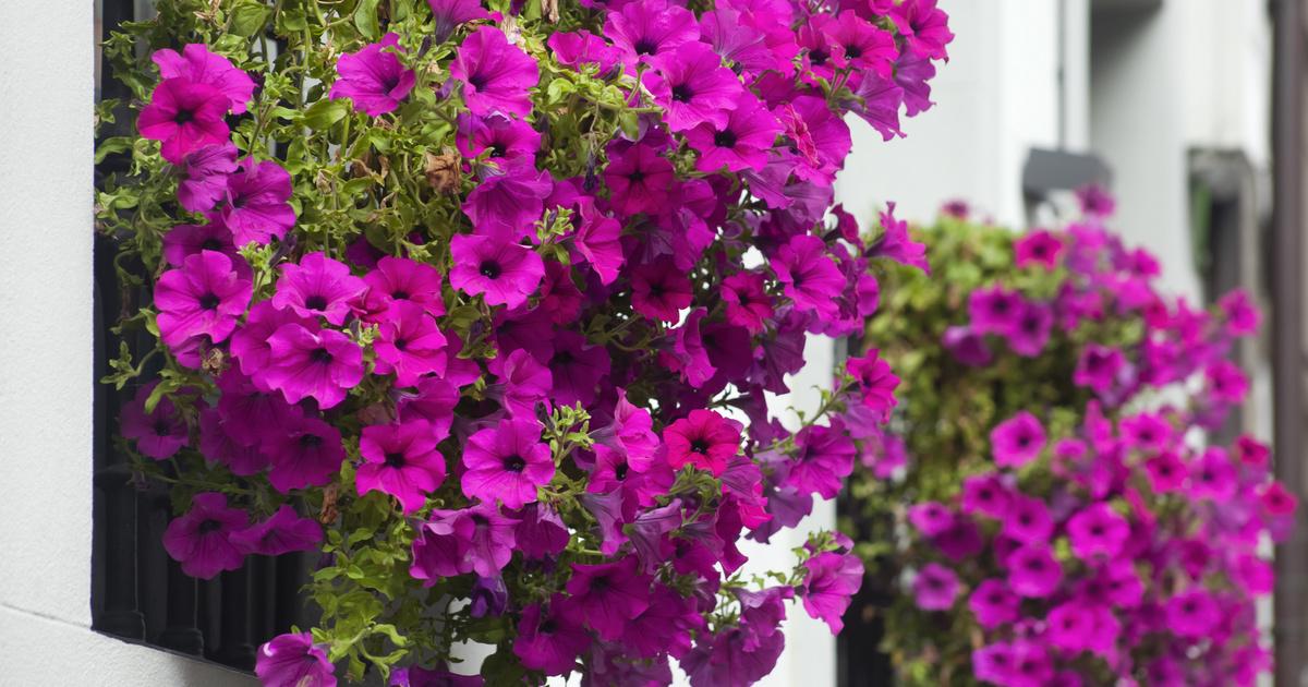 8 egész nyáron virágzó növény a balkonra: félárnyékos helyen is jól elvannak