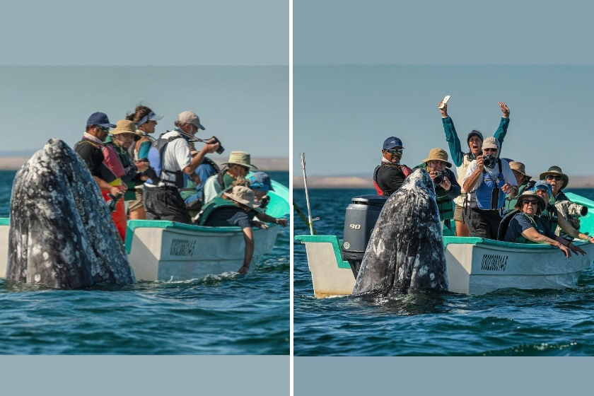 Elképesztően közel merészkedett a csónakhoz a kíváncsi bálna: csodás képek születtek a találkozásról