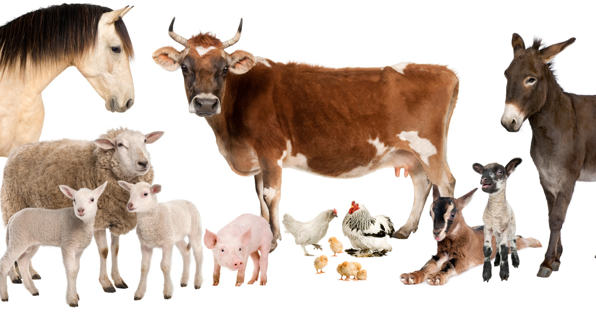 Üsző, ünő, na meg a jerke. Tudod, milyen állatokról beszélünk? – Kvíz!
