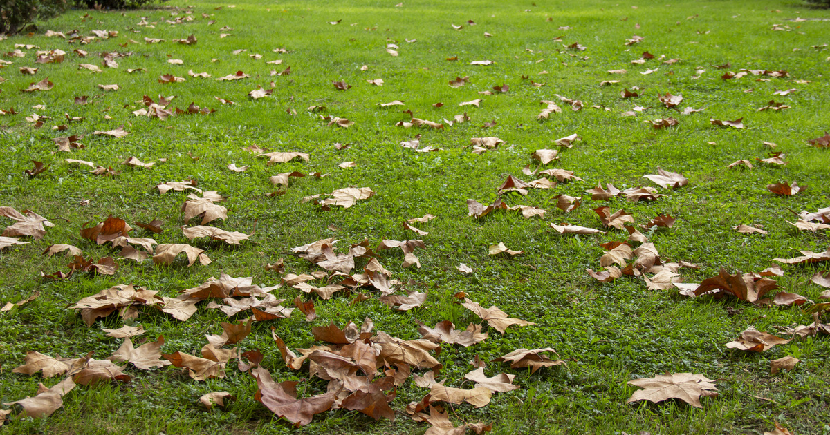 A legfontosabb őszi teendők a fűvel, hogy tavasszal dús és egészséges legyen: Megyeri Szabolcs kertész tanácsai