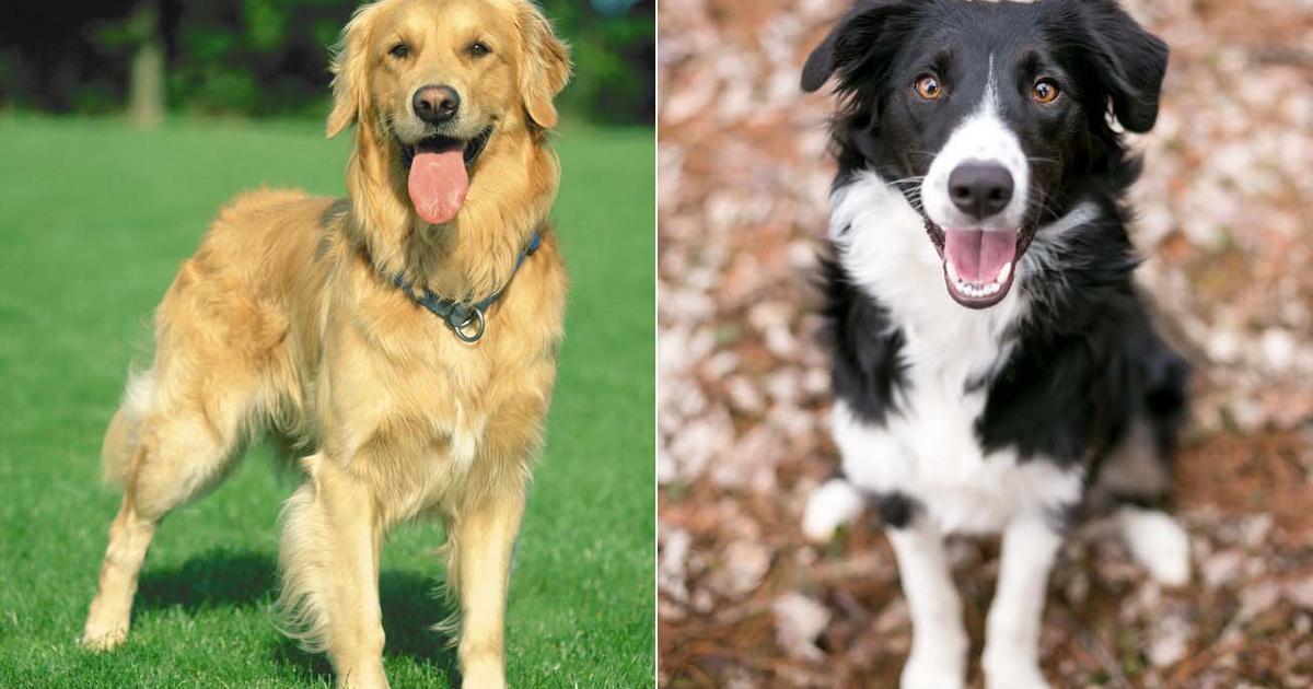Ezek a legokosabb kutyafajták a tudomány szerint: könnyen tanulnak, és igazán hűséges társak