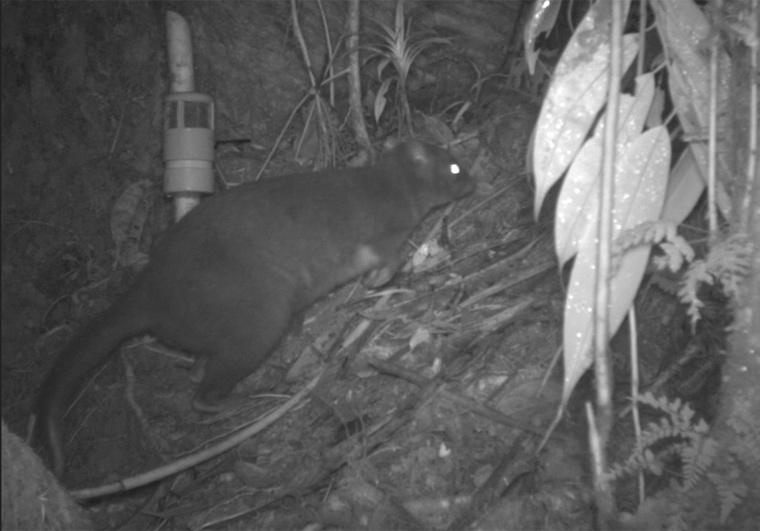 Dorcopsus wallaby