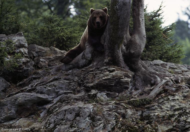 Ez nem az a medve