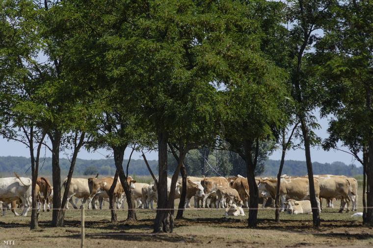 Két szarvasmarhát vágtak le illegálisan a Tiszafüred-Kócsújfalu közelében lévő szarvasmarhatelepen. Az állatokról feltételezni lehetett, hogy lépfenével fertőzöttek