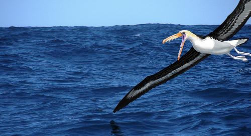 Pelagornis océano