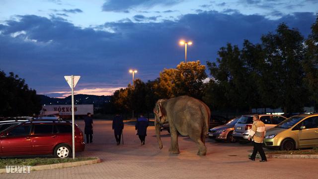 Eótvös Cirkusz, megy aludni az idős elefánt
