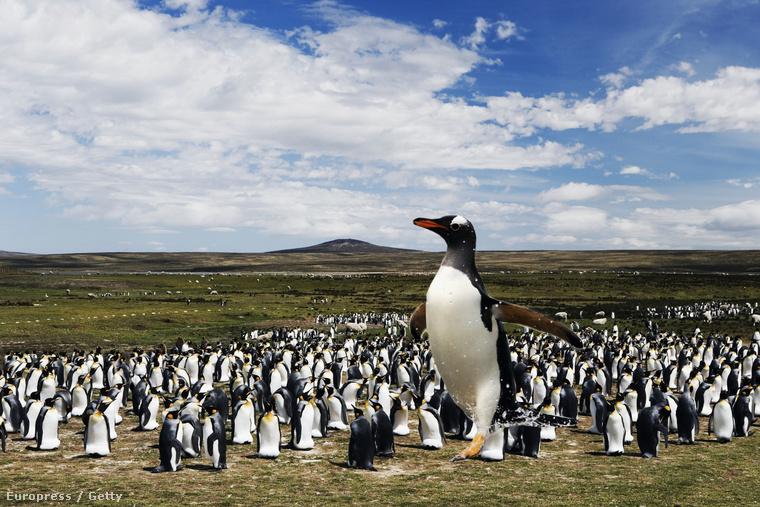 A képünk persze csak illusztráció. Ilyen hatalmas pingvin nincs is.