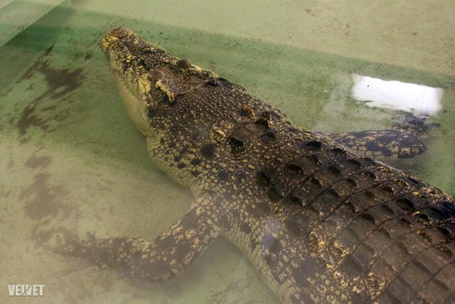 szegény krokodil06