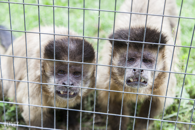 Ők az agresszív majmok csoportjába tartoztak. Még jó, hogy elválasztott tőlük egy ketrec.