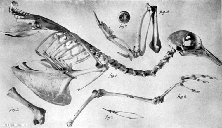 A vándorgalamb csontváza