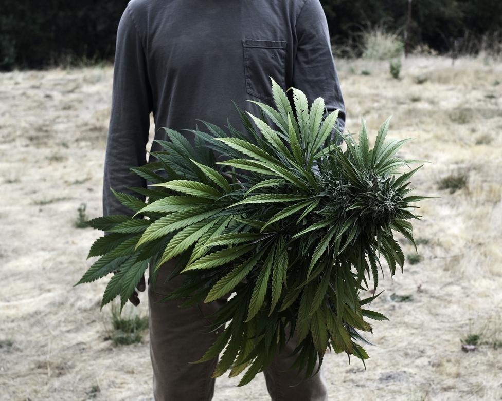 Kalifornia sokáig élen járt a marihuána dekriminalizálásában. 1996 óta legális a fű gyógyászati használata, 2011 óta pedig egy közúti gyorshajtással ér fel, ha a rendőrök valakit rajta kapnak egy unciánál nem több fű birtoklásán. Az orvosi marihuána, a dekriminalizáció és az egyes államokban bevezetett legalizáció miatt 1200 dollárra csökkent fél kiló spangli ára, a kaliforniai legalizáció után ez akár 500 dollár alá is csökkenhet. Ráadásul súlyos adókkal is terhelik a termelőket, Arcata városában 2012-ben hoztak egy olyan törvényt, amit kifejezetten az extrém nagy áramfogyasztókra, vagyis a fűtermelőkre találtak ki.