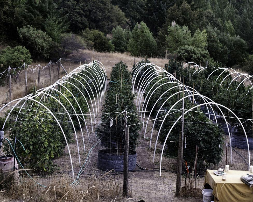 A smaragd háromszög azonban nem a 110 km-es partszakaszáról vagy a szép hegyeiről ismert, hanem az Egyesült Államok legnépesebb marihuánatermesztő közösségéről. Humboldtban például közel 30 ezer ember, vagyis az egész megye lakosságának több mint az ötöde foglalkozik valamilyen szinten fűtermeléssel, ki ipari szinten, ki csak egy-két növényt tart otthon.