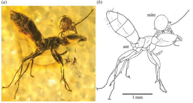 Mesostigmata Laelapidae