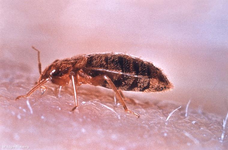 Ágyi poloska (Cimex lectularius)