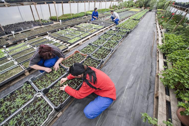 Közmunkások virágpalántákat nevelnek egy fóliasátorban.