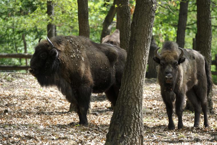 Bölények a Budakeszi Vadasparkban. Az állatokat az Európai Bölény Fajmegmentő program részeként telepítették a parkba.
