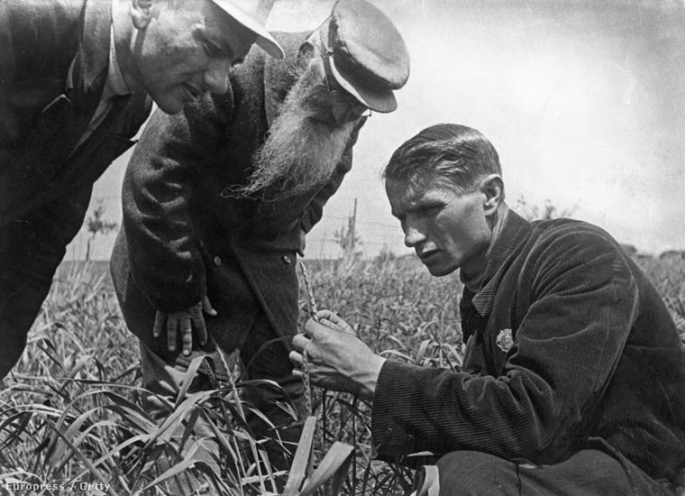 Liszenko a zabtermést ellenőrzi egy Odessza közelében egy harmincas évekbeli felvételen