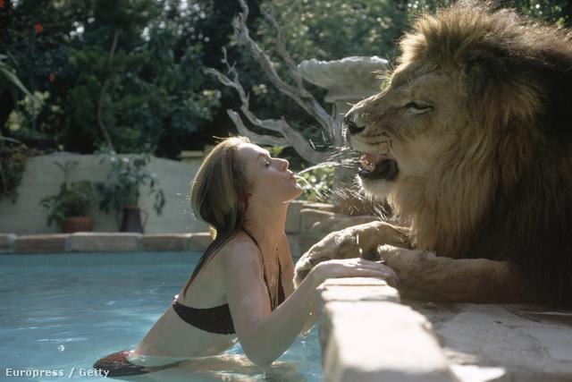 Összesen 70 ember sérült meg a forgatás alatt. A filmben látható oroszlántámadások egytől egyig valódiak, nem úgy megrendezett jelenetek, mint ahogy mostanában láthatunk ilyesmit, és pláne nem számítógépes trükkök, mint mondjuk a Pí élete című nagysikerű filmben.
