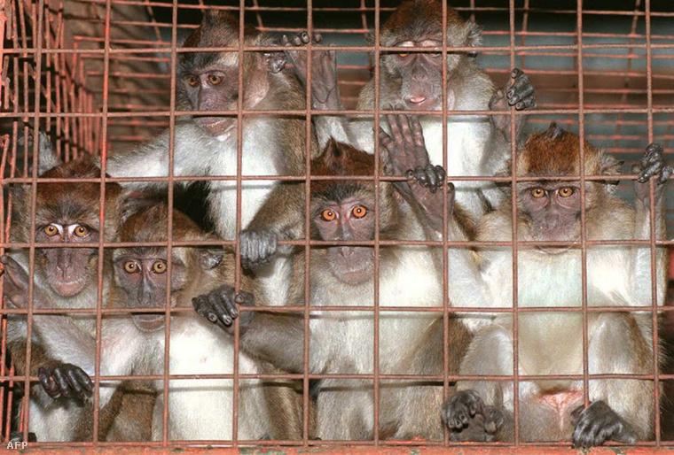 Makákók karanténban a Fülöp-szigeteken, 1995-ben